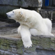 Stock Photo: Polar bear.
