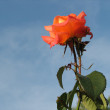 Rose on a background of the blue sky - Stock Photo