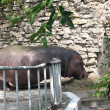 The hippopotamus in a zoo — Stock Photo
