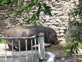 The hippopotamus in a zoo — Stock Photo