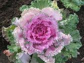 Decorative cabbage — Stock Photo