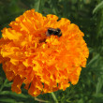 Orange marigold — Stock Photo
