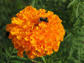 Orange marigold — Stock Photo