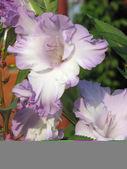 Lilac iris — Stock Photo