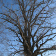 Stock Photo: Crone of oak