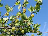 Ripe berries of a gooseberry — Stock Photo