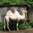 Stock Photo: Bactrian camel in the zoo