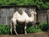 Bactrian camel in the zoo — Stock Photo
