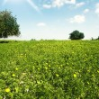 Green spring blossoming field — Stock Photo