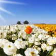 The field of orange and white flowers — Stock Photo