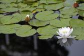 The pond with lilies in the Madrid park — Stock Photo