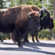 Bisons in Yelloustone national park - Stock Photo