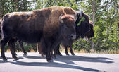 Bisons in Yelloustone national park — Stock Photo