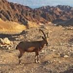 Постер, плакат: The mountain goat in stone desert