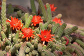 Blossoming cactus. — Stock Photo