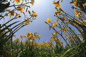 Ogród lilie żółty i pomarańczowy — Zdjęcie stockowe