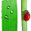 Dripped and  ladybug on sedge — Stock Photo