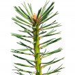 Royalty-Free Stock Photo: Branch of the pine