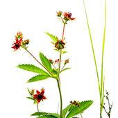 Field flower — Stock Photo