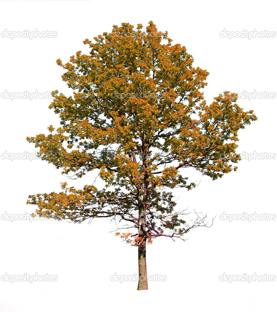 Silhouette autumn oak on white background — Stock Photo #1247922
