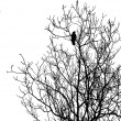 Silhouette ravens on tree — Stock Photo #1253003