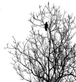 Silhouette ravens on tree — Stock Photo
