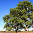 Oak on field — Stock Photo #1264026