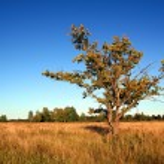 Oak on field — Stock Photo