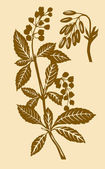 Plant of the barberry — Stock Photo