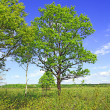 Oak on field — Stock Photo #1643002
