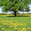 Oak on field — Stock Photo #1643050