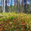 Stock Photo: Marsh moss