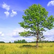 Oak on field — Stock Photo #1643431