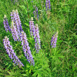 Lupines on field — Stock Photo #1721947
