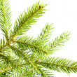 Fir branch — Foto Stock