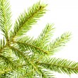 Royalty-Free Stock Photo: Fir branch