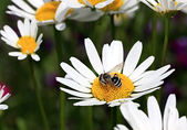 Bee on a camomile. — Stock Photo