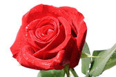 Red rose with drops of water. — Stock Photo
