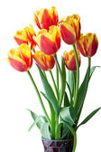 Red and yellow tulips. — Stock Photo