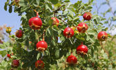 Briar jagody — Zdjęcie stockowe