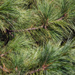 Pinetree fundo — Foto Stock
