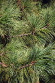 Pinetree Background — Stock Photo