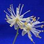 Linden tree flowers — Stock Photo #1222316