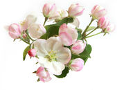 Beautiful apple tree flowers — Stock Photo