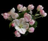 Beautiful apple tree flowers — Stock Photo