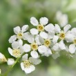 Bird cherry tree spring flowers — Stock Photo