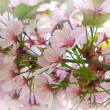 Cherry tree spring flowers — Stock Photo