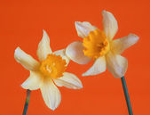 Yellow flowers on orange background — Stock Photo