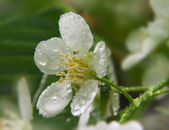 White bird cherry flower — Stock Photo