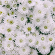 White flowers - Stockfoto